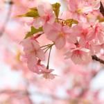 造幣局の桜の通り抜け2015年。いつから始まるの?アクセスは?