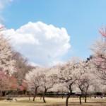 鹿児島 健康の森公園に桜を見に行ってきた2017。【桜満開】
