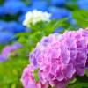久留米市 千光寺のあじさいが綺麗!あじさいまつり概要と開花情報