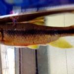 小学生 夏休みの自由研究 魚。カワムツを釣ってみた!飼育方法は?食べられるの?