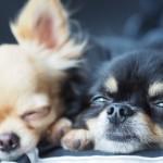 インフルエンザって犬に感染するの?犬のインフルエンザ症状とは?