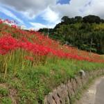 彼岸花の名所 鹿児島 南日本新聞掲載・彼岸花の名所・川田に行ってきた!