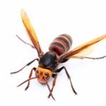 都市型スズメバチが増大中!都市型スズメバチとは?刺された時の対処法
