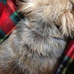 コラージュフルフルをマラセチアの犬に使ってみた!効果はあった?