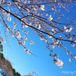 鹿児島吉野公園 桜は咲いてる?2018年花見の見頃近づく!